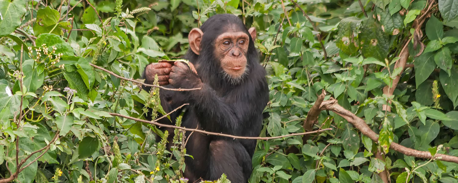Chimpanzee Primates in Kyambura Gorge