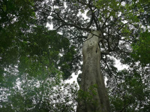 Tree Species in Rabongo Forest